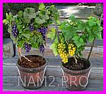 Домашний виноград Cпелый Cад, фото 5