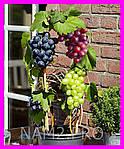 Домашний виноград Cпелый Cад, фото 6