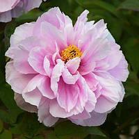 Пион Flower-like Girl Ru Hua Si Yu древовидный (саженцы)