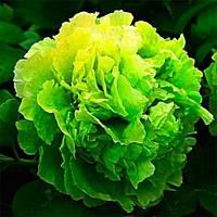 Пион Green Jade Lu Mu Ying Yu древовидный (саженцы)
