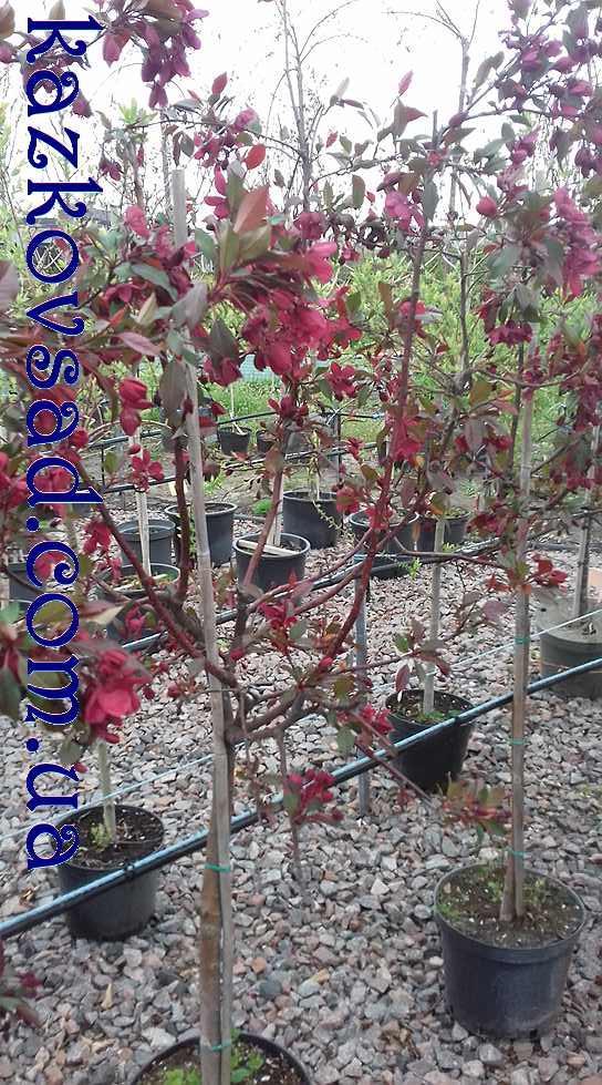 Яблуня краснолистая Royalty (Висота 1 м)