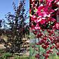 Яблуня краснолистая Royalty (Висота 1 м), фото 2