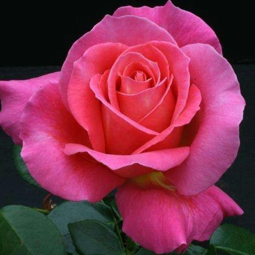 Роза чайно-гибридная Атташе