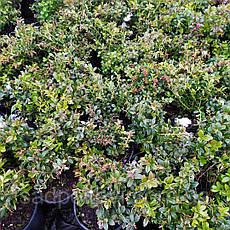 Саженцы  брусники Руно белявское в контейнере 1,5л трехлетние, фото 2