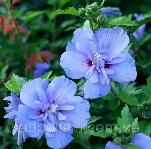 Гибискус сирийский Блу Шифон /Hibiscus syr. 'Blue Chiffon'/ в конт.1,5л /2года/