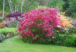 Рододендрон листопадний Homebush 2 річний, Рододендрон листопадный Хомбуш, Rhododendron Homebush, фото 2