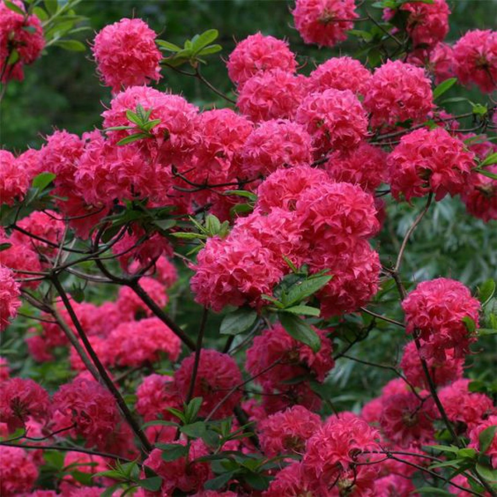 Рододендрон листопадний Homebush 2 річний, Рододендрон листопадный Хомбуш, Rhododendron Homebush