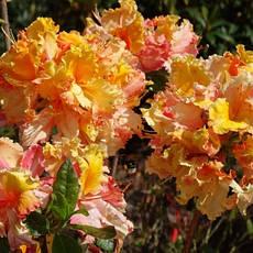 Рододендрон листопадний Mayaro 2 річний, Рододендрон листопадний Маяро, Rhododendron Mayaro, фото 2