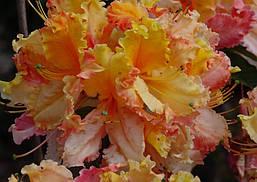 Рододендрон листопадний Mayaro 2 річний, Рододендрон листопадний Маяро, Rhododendron Mayaro, фото 3