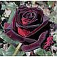 Роза Блек Баккара Ч-Г, фото 2