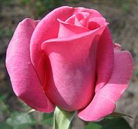 Роза Эйфелева Башня Ч-Г