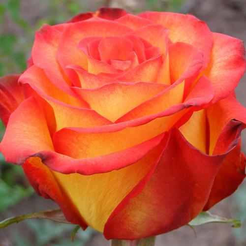 Роза Циркус Ч-Г