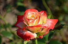 Роза Императрица Фарах (Imperatrice Farah) ч/г, фото 3