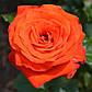 Роза чайно-гибридная Верано, фото 2