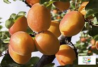 Саженцы абрикоса Эрли ред оранж