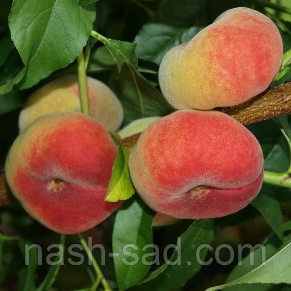 Саженцы  персика инжирного Сатурн ( США )