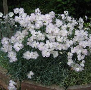 Саженцы Гвоздики перистной (Dianthus plumarius)