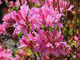Рододендрон листопадний Western Lights 2 річний, Рододендрон листопадный Вестерн Лайтс, Rhododendron Western, фото 2