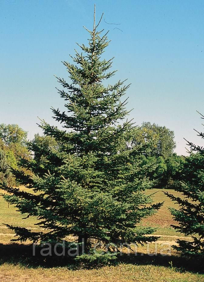Ель колючая Глаука (Picea pungens f. glauca)