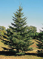 Ель колючая Глаука (Picea pungens f. glauca), фото 1