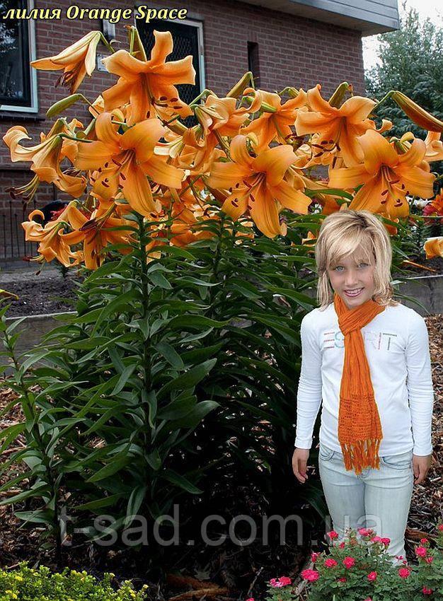 Лилия Orange Space (Оранж Спейс)
