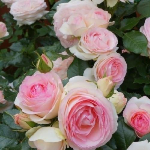 Роза в'юнка П'єр де Ронсар