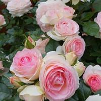 Роза плетистая Пьер де Ронсар, фото 1