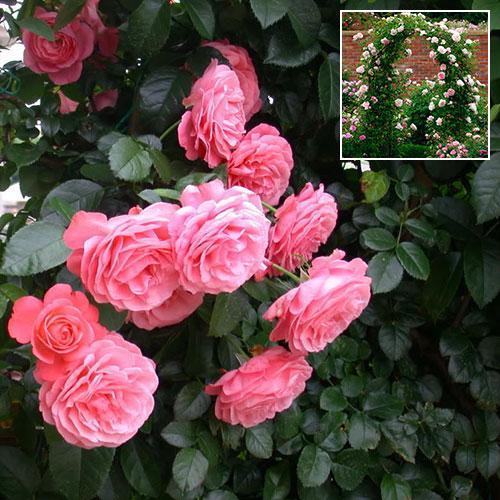 Роза плетистая Розанна