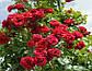Роза плетистая Симпати, фото 3