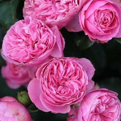 Роза Леонардо Давинчи (шраб)