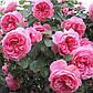 Роза Леонардо Давинчи (шраб), фото 2