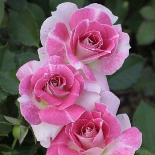 Троянда флорибунда Патіо Регенсберг