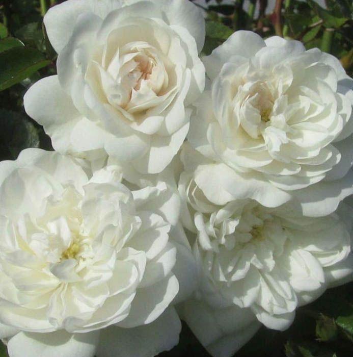 Роза Сноу Балет (шраб)