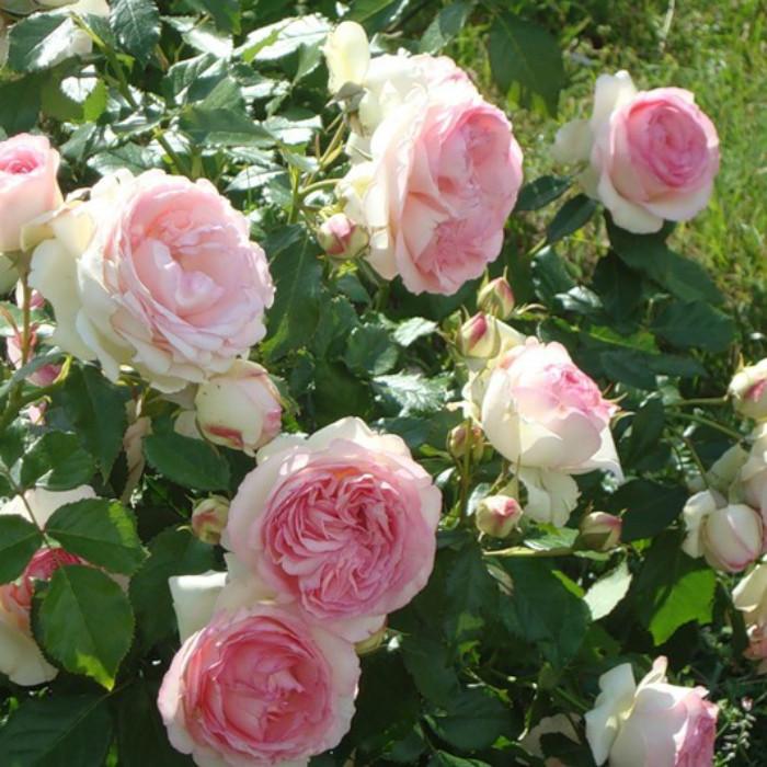Роза английская Эден Роуз