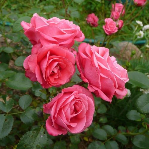 Роза флорибунда Белла Роса