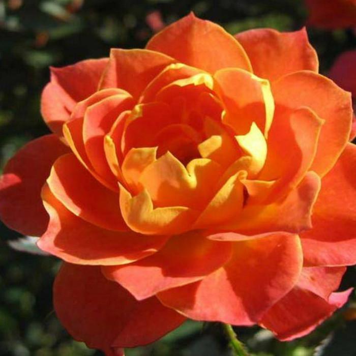 Роза бордюрна Колібрі