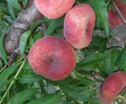 Персик инжирный Бельмондо (с-р)