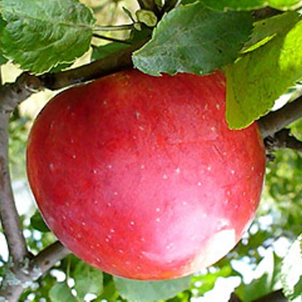 Яблуня Делічія