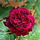 Роза английская Вильям Шекспир, фото 3