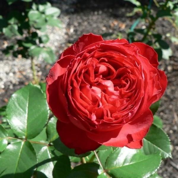 Троянда англійська Травиатта
