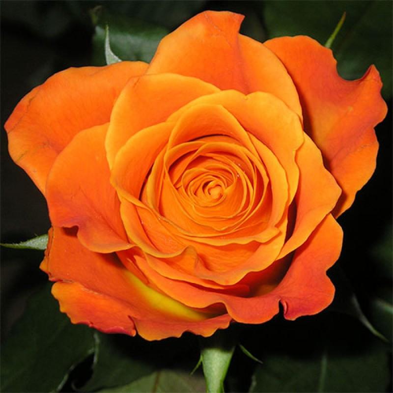 Троянда флорибунда Морквяна