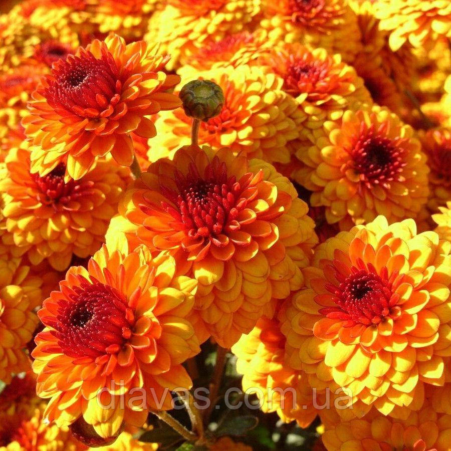 Хрізантема зрізочна КАЛІМЕРО СХІД СОНЦЯ (Calimero Sunrise)