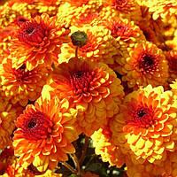 Хрізантема зрізочна КАЛІМЕРО СХІД СОНЦЯ (Calimero Sunrise), фото 1