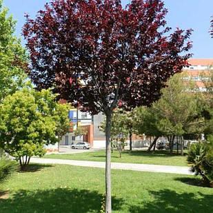 Саженцы Сливы Писсарди на штамбе (Prunus cerasifera Pissardii)