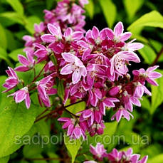 Дейція Строберрі Філдс /Deutzia hybrida 'Strawberry Fields'/2года/
