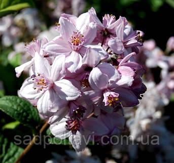Дейція Монт Роуз /Deutzia hybrida 'Mont Rose'/ 2года, фото 2