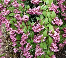 Дейція Строберрі Філдс /Deutzia hybrida 'Strawberry Fields'/2года/, фото 2
