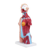 55см Анатомия человека Унисекс Торс Ассамблеи Висцеральный анатомический Медицинская Модель - 1TopShop, фото 3