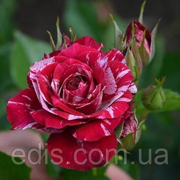 Роза Спрей Арроу Фоли (Arrow Folies), мелкоцветковая, мультифлора