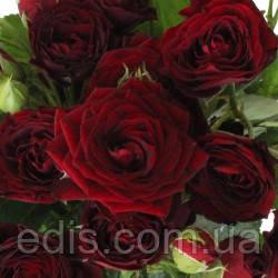 Роза спрей Ред Сенсейшен (Red Sensation)